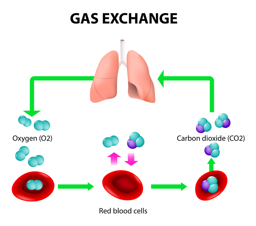 Figure 1: The gas exchange in human respiration